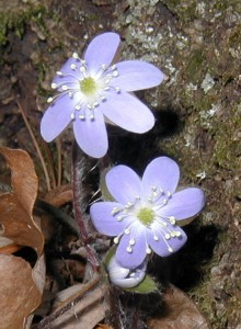 Round-lobed hepatica with purple flowers.