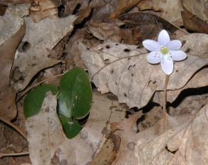 Round-lobed hepatica with single leaf and flower.