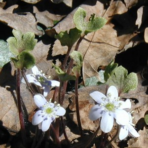 Closeup of round-lobed hepatica upright leaves.
