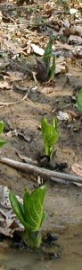 Skunk cabbage leaves emerge rolled up and unfurl into huge oval shapes.