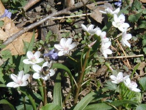 White blooming spring beauty with blue ground ivy blossoms.