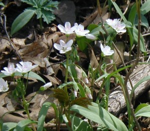 Spring beauty blooming as trout lily cohort.