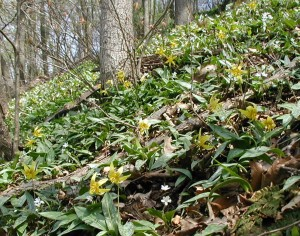 Trout lily and spring beauty blooming together.