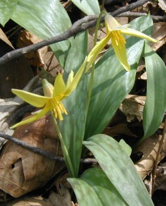 Close-up of trout lily flowers with yellow stamens.
