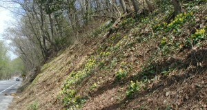 Colony of blooming trout lily.