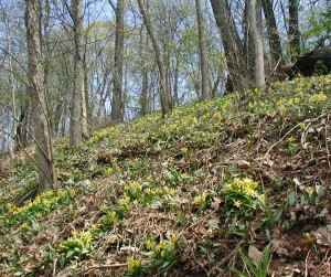 Looking up at trout lily blooming on the hillside next to the river.