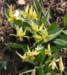 Small group of trout lilies flowering.