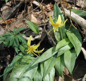 Trout lily flowers and leaves.