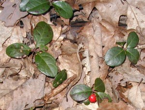 Wintergreen leaves and red berries, also called Teaberry.