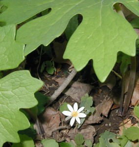 Little bloodroot blooming under older bloodroots.