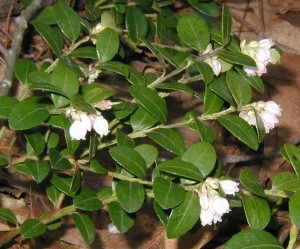 Evergreen oval leaves and white blooms of Box Huckleberry.