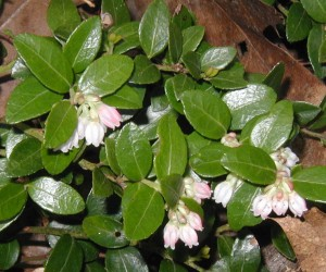 Lots of fresh huckleberry flowers at the tips of the stems.