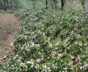 Mass blooming of box huckleberry plant.