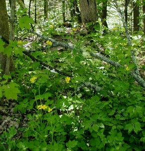 Several celandine plants at the edge of the woods.