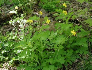 Yellow flowers top the Greater Celandine plants at the edge of the woods.
