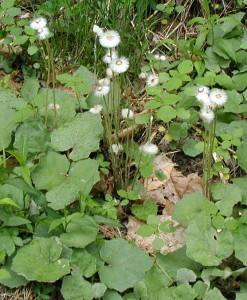 Coltsfoot seed head and leaves.