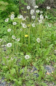 Dandelion seed head and leaves.