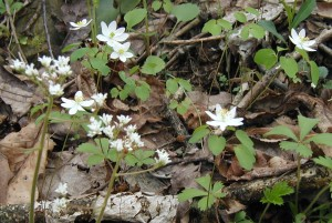 Early saxifrage and rue anemone blooming at the same time.