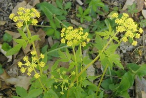 Tiny yellow flowers held in umbels of umbels.