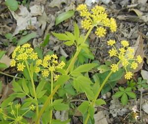 Golden yellow flowers of Golden Alexanders.