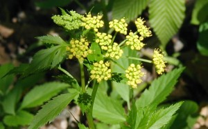 Umbels of Golden Alexanders flowers.