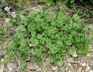 Heart-shaped basal leaves of golden ragwort.