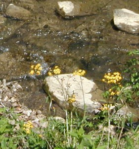 Another golden ragwort plant blooming by the creek.
