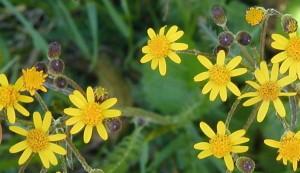 Looking down on the golden ragwort flowers.