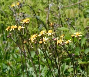 Golden ragwort blooming.