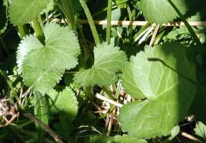 Rounded basal leaves of golden ragwort.