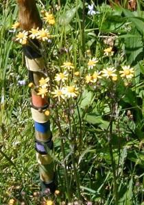 Golden ragwort flower stalks rise over a foot tall.