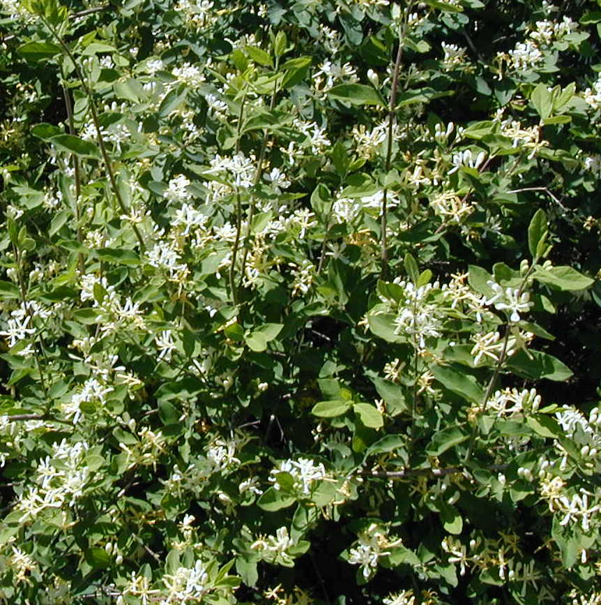 Honeysuckle that doesnt smell sweet flowers on a fly honeysuckle at the road side mightylinksfo