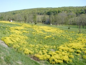 Yellow blossoms of mustard fill this open field.