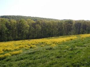 Mustards flowering in a fallow field.