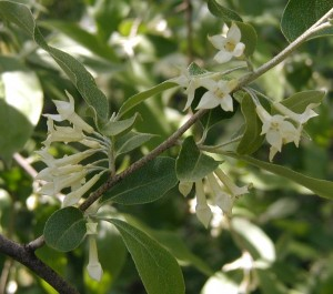 Trumpet-like four-pointed blooms of Privet.