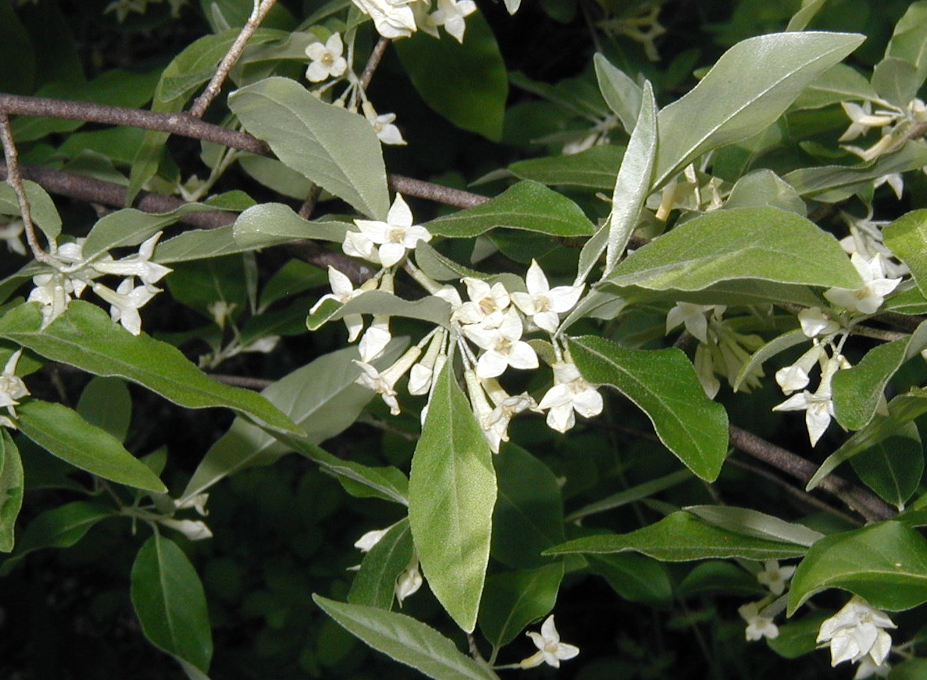 Privet shrub smells like spring a branch of the privet hedge tree mightylinksfo