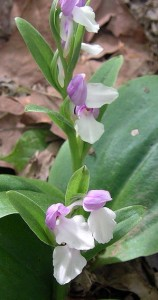 Typical bicolored showy orchis.