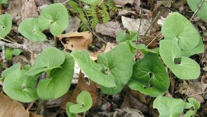 Colony of wild ginger growing next to a creek.