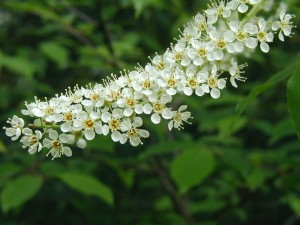 Cluster of black cherry flowers.