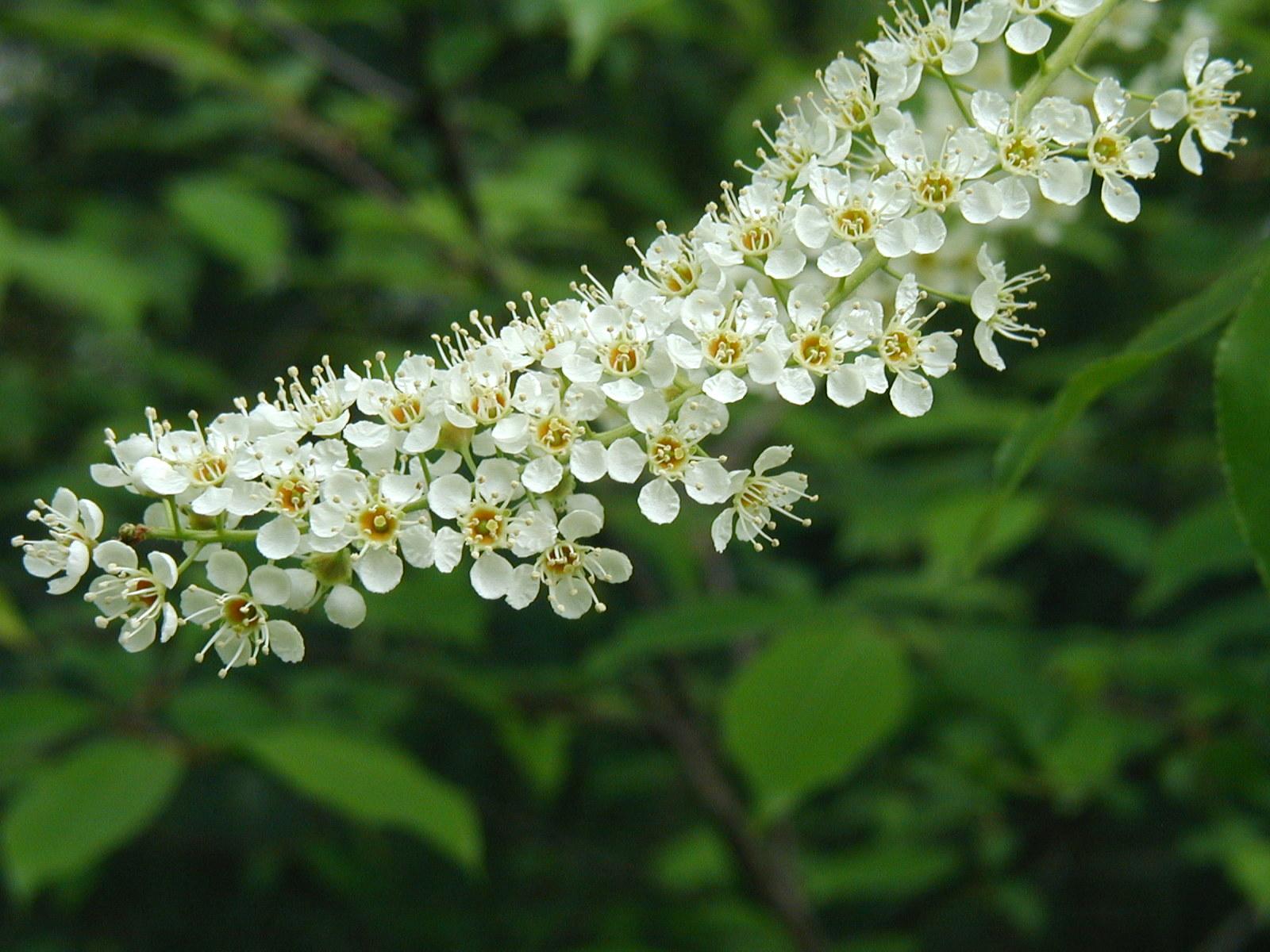 Cherry Black Flower Cer