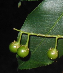 Three cherries left on the stem.