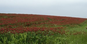 Field full of Crimson Clover.