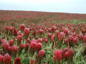 Crimson clover as far as the eye can see.