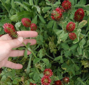 Trifoliate leaves and red heads of crimson clover.