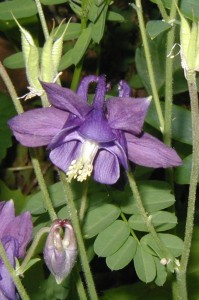 Purple-flowering volunteer Columbine.