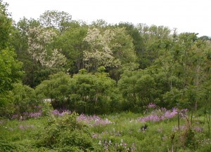Dame's Rocket flowering at the edge of woods with locust trees in bloom.