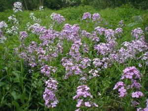 Group of purple flowering Dame's Rocket.