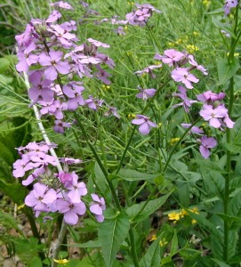 Spreading purple clusters of Dame's Rocket.