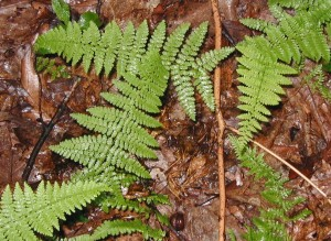 Hay-scented ferns growing singly in the forest.