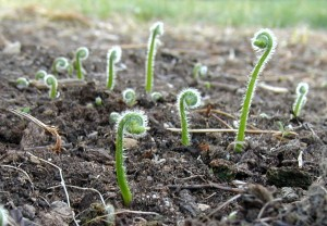 Fiddleheads rise up out of the earth.